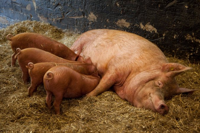 A Durok sow with her piglets (Wikimedia Commons)